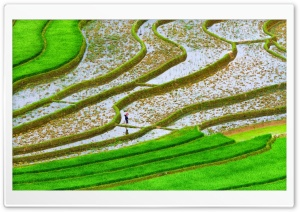 Green Rice Fields HD Wide Wallpaper for Widescreen