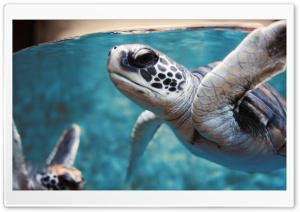 Green Sea Turtle Underwater HD Wide Wallpaper for Widescreen
