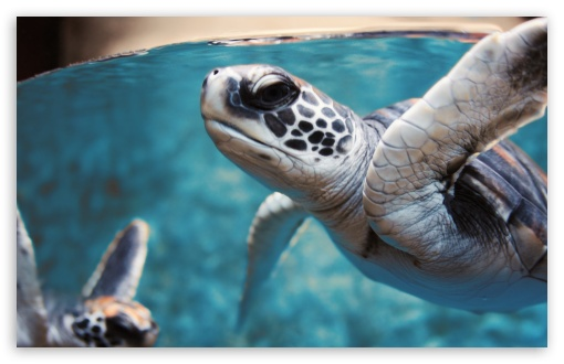 Green Sea Turtle Underwater HD wallpaper for Wide 16:10 5:3 Widescreen WHXGA WQXGA WUXGA WXGA WGA ; HD 16:9 High Definition WQHD QWXGA 1080p 900p 720p QHD nHD ; UHD 16:9 WQHD QWXGA 1080p 900p 720p QHD nHD ; Standard 4:3 5:4 3:2 Fullscreen UXGA XGA SVGA QSXGA SXGA DVGA HVGA HQVGA devices ( Apple PowerBook G4 iPhone 4 3G 3GS iPod Touch ) ; Tablet 1:1 ; iPad 1/2/Mini ; Mobile 4:3 5:3 3:2 16:9 5:4 - UXGA XGA SVGA WGA DVGA HVGA HQVGA devices ( Apple PowerBook G4 iPhone 4 3G 3GS iPod Touch ) WQHD QWXGA 1080p 900p 720p QHD nHD QSXGA SXGA ;