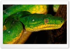 Green Snake HD Wide Wallpaper for Widescreen