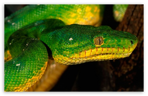 Green Snake HD wallpaper for Wide 16:10 5:3 Widescreen WHXGA WQXGA WUXGA WXGA WGA ; HD 16:9 High Definition WQHD QWXGA 1080p 900p 720p QHD nHD ; Standard 4:3 5:4 3:2 Fullscreen UXGA XGA SVGA QSXGA SXGA DVGA HVGA HQVGA devices ( Apple PowerBook G4 iPhone 4 3G 3GS iPod Touch ) ; iPad 1/2/Mini ; Mobile 4:3 5:3 3:2 16:9 5:4 - UXGA XGA SVGA WGA DVGA HVGA HQVGA devices ( Apple PowerBook G4 iPhone 4 3G 3GS iPod Touch ) WQHD QWXGA 1080p 900p 720p QHD nHD QSXGA SXGA ;