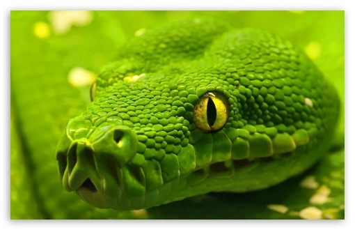 Green Snake Head ❤ 4K UHD Wallpaper for Wide 16:10 5:3 Widescreen WHXGA WQXGA WUXGA WXGA WGA ; 4K UHD 16:9 Ultra High Definition 2160p 1440p 1080p 900p 720p ; Standard 4:3 3:2 Fullscreen UXGA XGA SVGA DVGA HVGA HQVGA ( Apple PowerBook G4 iPhone 4 3G 3GS iPod Touch ) ; iPad 1/2/Mini ; Mobile 4:3 5:3 3:2 16:9 - UXGA XGA SVGA WGA DVGA HVGA HQVGA ( Apple PowerBook G4 iPhone 4 3G 3GS iPod Touch ) 2160p 1440p 1080p 900p 720p ;