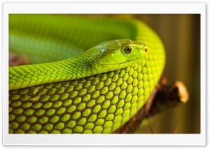 Green Snake Macro HD Wide Wallpaper for Widescreen