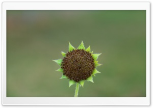 Green Sunflower Seed Head HD Wide Wallpaper for Widescreen