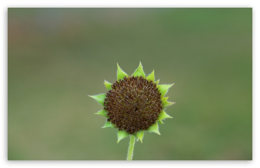 Green Sunflower Seed Head HD wallpaper for Wide 16:10 5:3 Widescreen WHXGA WQXGA WUXGA WXGA WGA ; HD 16:9 High Definition WQHD QWXGA 1080p 900p 720p QHD nHD ; Standard 4:3 5:4 3:2 Fullscreen UXGA XGA SVGA QSXGA SXGA DVGA HVGA HQVGA devices ( Apple PowerBook G4 iPhone 4 3G 3GS iPod Touch ) ; Tablet 1:1 ; iPad 1/2/Mini ; Mobile 4:3 5:3 3:2 16:9 5:4 - UXGA XGA SVGA WGA DVGA HVGA HQVGA devices ( Apple PowerBook G4 iPhone 4 3G 3GS iPod Touch ) WQHD QWXGA 1080p 900p 720p QHD nHD QSXGA SXGA ; Dual 5:4 QSXGA SXGA ;