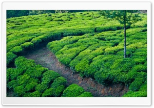 Green Tea Field HD Wide Wallpaper for Widescreen