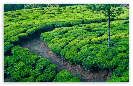 Green Tea Field HD wallpaper for Standard 4:3 5:4 Fullscreen UXGA XGA SVGA QSXGA SXGA ; Wide 16:10 5:3 Widescreen WHXGA WQXGA WUXGA WXGA WGA ; HD 16:9 High Definition WQHD QWXGA 1080p 900p 720p QHD nHD ; Other 3:2 DVGA HVGA HQVGA devices ( Apple PowerBook G4 iPhone 4 3G 3GS iPod Touch ) ; Mobile VGA WVGA iPhone iPad PSP Phone - VGA QVGA Smartphone ( PocketPC GPS iPod Zune BlackBerry HTC Samsung LG Nokia Eten Asus ) WVGA WQVGA Smartphone ( HTC Samsung Sony Ericsson LG Vertu MIO ) HVGA Smartphone ( Apple iPhone iPod BlackBerry HTC Samsung Nokia ) Sony PSP Zune HD Zen ; Tablet 2 Android 3 DVGA HVGA HQVGA devices ( Apple PowerBook G4 iPhone 4 3G 3GS iPod Touch ) ; Dual 4:3 5:4 16:10 5:3 16:9 UXGA XGA SVGA QSXGA SXGA WHXGA WQXGA WUXGA WXGA WGA WQHD QWXGA 1080p 900p 720p QHD nHD ;