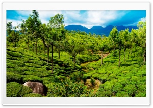 Green tea field, Kerala, India HD Wide Wallpaper for Widescreen