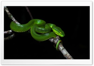 Green Tree Pit Viper Venomous Snake Ultra HD Wallpaper for 4K UHD Widescreen desktop, tablet & smartphone