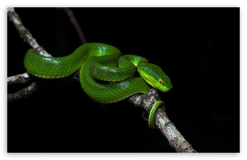 Green Tree Pit Viper Venomous Snake UltraHD Wallpaper for Wide 16:10 5:3 Widescreen WHXGA WQXGA WUXGA WXGA WGA ; UltraWide 21:9 24:10 ; 8K UHD TV 16:9 Ultra High Definition 2160p 1440p 1080p 900p 720p ; UHD 16:9 2160p 1440p 1080p 900p 720p ; Standard 4:3 5:4 3:2 Fullscreen UXGA XGA SVGA QSXGA SXGA DVGA HVGA HQVGA ( Apple PowerBook G4 iPhone 4 3G 3GS iPod Touch ) ; Smartphone 16:9 3:2 5:3 2160p 1440p 1080p 900p 720p DVGA HVGA HQVGA ( Apple PowerBook G4 iPhone 4 3G 3GS iPod Touch ) WGA ; Tablet 1:1 ; iPad 1/2/Mini ; Mobile 4:3 5:3 3:2 16:9 5:4 - UXGA XGA SVGA WGA DVGA HVGA HQVGA ( Apple PowerBook G4 iPhone 4 3G 3GS iPod Touch ) 2160p 1440p 1080p 900p 720p QSXGA SXGA ; Dual 16:10 5:3 16:9 4:3 5:4 3:2 WHXGA WQXGA WUXGA WXGA WGA 2160p 1440p 1080p 900p 720p UXGA XGA SVGA QSXGA SXGA DVGA HVGA HQVGA ( Apple PowerBook G4 iPhone 4 3G 3GS iPod Touch ) ; Triple 16:10 5:3 16:9 4:3 5:4 3:2 WHXGA WQXGA WUXGA WXGA WGA 2160p 1440p 1080p 900p 720p UXGA XGA SVGA QSXGA SXGA DVGA HVGA HQVGA ( Apple PowerBook G4 iPhone 4 3G 3GS iPod Touch ) ;