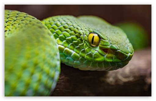 Green Tree Python ❤ 4K UHD Wallpaper for Wide 16:10 5:3 Widescreen WHXGA WQXGA WUXGA WXGA WGA ; UltraWide 21:9 24:10 ; 4K UHD 16:9 Ultra High Definition 2160p 1440p 1080p 900p 720p ; UHD 16:9 2160p 1440p 1080p 900p 720p ; Standard 4:3 5:4 3:2 Fullscreen UXGA XGA SVGA QSXGA SXGA DVGA HVGA HQVGA ( Apple PowerBook G4 iPhone 4 3G 3GS iPod Touch ) ; Tablet 1:1 ; iPad 1/2/Mini ; Mobile 4:3 5:3 3:2 16:9 5:4 - UXGA XGA SVGA WGA DVGA HVGA HQVGA ( Apple PowerBook G4 iPhone 4 3G 3GS iPod Touch ) 2160p 1440p 1080p 900p 720p QSXGA SXGA ;