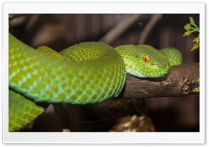 Green Tree Python HD Wide Wallpaper for 4K UHD Widescreen desktop & smartphone