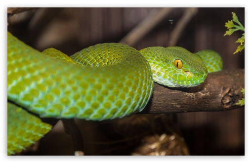 Green Tree Python ❤ 4K UHD Wallpaper for Wide 16:10 5:3 Widescreen WHXGA WQXGA WUXGA WXGA WGA ; UltraWide 21:9 24:10 ; 4K UHD 16:9 Ultra High Definition 2160p 1440p 1080p 900p 720p ; UHD 16:9 2160p 1440p 1080p 900p 720p ; Standard 4:3 5:4 3:2 Fullscreen UXGA XGA SVGA QSXGA SXGA DVGA HVGA HQVGA ( Apple PowerBook G4 iPhone 4 3G 3GS iPod Touch ) ; Smartphone 16:9 3:2 5:3 2160p 1440p 1080p 900p 720p DVGA HVGA HQVGA ( Apple PowerBook G4 iPhone 4 3G 3GS iPod Touch ) WGA ; Tablet 1:1 ; iPad 1/2/Mini ; Mobile 4:3 5:3 3:2 16:9 5:4 - UXGA XGA SVGA WGA DVGA HVGA HQVGA ( Apple PowerBook G4 iPhone 4 3G 3GS iPod Touch ) 2160p 1440p 1080p 900p 720p QSXGA SXGA ; Dual 16:10 5:3 16:9 4:3 5:4 3:2 WHXGA WQXGA WUXGA WXGA WGA 2160p 1440p 1080p 900p 720p UXGA XGA SVGA QSXGA SXGA DVGA HVGA HQVGA ( Apple PowerBook G4 iPhone 4 3G 3GS iPod Touch ) ; Triple 16:10 5:3 16:9 4:3 5:4 3:2 WHXGA WQXGA WUXGA WXGA WGA 2160p 1440p 1080p 900p 720p UXGA XGA SVGA QSXGA SXGA DVGA HVGA HQVGA ( Apple PowerBook G4 iPhone 4 3G 3GS iPod Touch ) ;