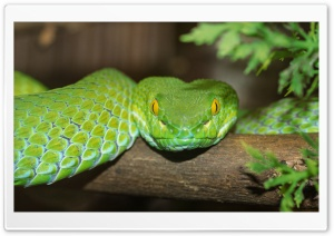 Green Tree Python HD Wide Wallpaper for Widescreen