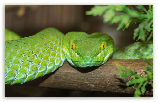 Green Tree Python ❤ 4K UHD Wallpaper for Wide 16:10 5:3 Widescreen WHXGA WQXGA WUXGA WXGA WGA ; UltraWide 21:9 ; 4K UHD 16:9 Ultra High Definition 2160p 1440p 1080p 900p 720p ; Standard 4:3 5:4 3:2 Fullscreen UXGA XGA SVGA QSXGA SXGA DVGA HVGA HQVGA ( Apple PowerBook G4 iPhone 4 3G 3GS iPod Touch ) ; Smartphone 16:9 3:2 5:3 2160p 1440p 1080p 900p 720p DVGA HVGA HQVGA ( Apple PowerBook G4 iPhone 4 3G 3GS iPod Touch ) WGA ; Tablet 1:1 ; iPad 1/2/Mini ; Mobile 4:3 5:3 3:2 16:9 5:4 - UXGA XGA SVGA WGA DVGA HVGA HQVGA ( Apple PowerBook G4 iPhone 4 3G 3GS iPod Touch ) 2160p 1440p 1080p 900p 720p QSXGA SXGA ; Dual 16:10 5:3 16:9 4:3 5:4 3:2 WHXGA WQXGA WUXGA WXGA WGA 2160p 1440p 1080p 900p 720p UXGA XGA SVGA QSXGA SXGA DVGA HVGA HQVGA ( Apple PowerBook G4 iPhone 4 3G 3GS iPod Touch ) ;