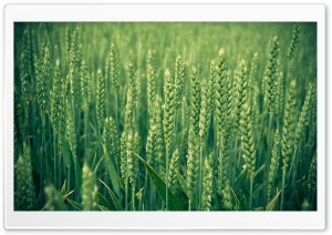 Green Wheat HD Wide Wallpaper for Widescreen