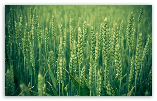 Green Wheat HD wallpaper for Wide 16:10 5:3 Widescreen WHXGA WQXGA WUXGA WXGA WGA ; HD 16:9 High Definition WQHD QWXGA 1080p 900p 720p QHD nHD ; Standard 4:3 5:4 3:2 Fullscreen UXGA XGA SVGA QSXGA SXGA DVGA HVGA HQVGA devices ( Apple PowerBook G4 iPhone 4 3G 3GS iPod Touch ) ; Tablet 1:1 ; iPad 1/2/Mini ; Mobile 4:3 5:3 3:2 16:9 5:4 - UXGA XGA SVGA WGA DVGA HVGA HQVGA devices ( Apple PowerBook G4 iPhone 4 3G 3GS iPod Touch ) WQHD QWXGA 1080p 900p 720p QHD nHD QSXGA SXGA ;