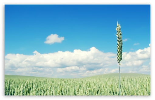 Green Wheat Crop HD wallpaper for Wide 16:10 5:3 Widescreen WHXGA WQXGA WUXGA WXGA WGA ; HD 16:9 High Definition WQHD QWXGA 1080p 900p 720p QHD nHD ; Standard 4:3 5:4 3:2 Fullscreen UXGA XGA SVGA QSXGA SXGA DVGA HVGA HQVGA devices ( Apple PowerBook G4 iPhone 4 3G 3GS iPod Touch ) ; Tablet 1:1 ; iPad 1/2/Mini ; Mobile 4:3 5:3 3:2 16:9 5:4 - UXGA XGA SVGA WGA DVGA HVGA HQVGA devices ( Apple PowerBook G4 iPhone 4 3G 3GS iPod Touch ) WQHD QWXGA 1080p 900p 720p QHD nHD QSXGA SXGA ;