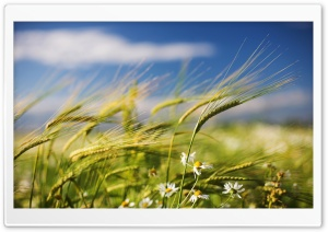 Green Wheat Crop HD Wide Wallpaper for Widescreen