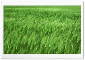 Green Wheat Field 1 HD Wide Wallpaper for 4K UHD Widescreen desktop & smartphone