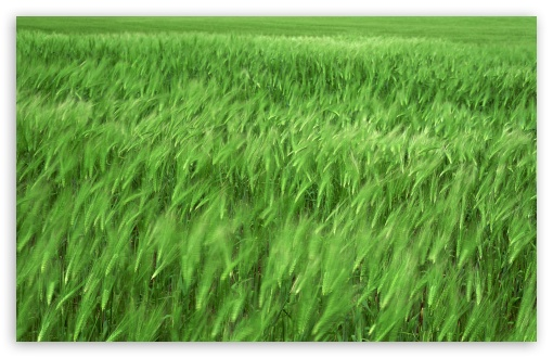 Green Wheat Field 1 HD wallpaper for Standard 4:3 5:4 Fullscreen UXGA XGA SVGA QSXGA SXGA ; Wide 16:10 5:3 Widescreen WHXGA WQXGA WUXGA WXGA WGA ; HD 16:9 High Definition WQHD QWXGA 1080p 900p 720p QHD nHD ; Other 3:2 DVGA HVGA HQVGA devices ( Apple PowerBook G4 iPhone 4 3G 3GS iPod Touch ) ; Mobile VGA WVGA iPhone iPad PSP Phone - VGA QVGA Smartphone ( PocketPC GPS iPod Zune BlackBerry HTC Samsung LG Nokia Eten Asus ) WVGA WQVGA Smartphone ( HTC Samsung Sony Ericsson LG Vertu MIO ) HVGA Smartphone ( Apple iPhone iPod BlackBerry HTC Samsung Nokia ) Sony PSP Zune HD Zen ; Tablet 2 ; Dual 4:3 5:4 16:10 5:3 16:9 UXGA XGA SVGA QSXGA SXGA WHXGA WQXGA WUXGA WXGA WGA WQHD QWXGA 1080p 900p 720p QHD nHD ;
