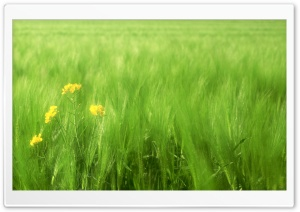 Green Wheat Field 2 HD Wide Wallpaper for Widescreen