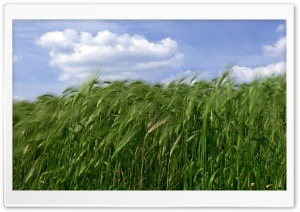 Green Wheat Field 3 HD Wide Wallpaper for Widescreen