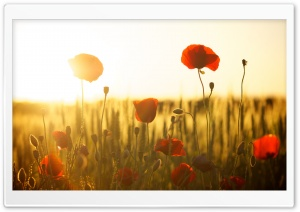 Green Wheat Field And Poppies HD Wide Wallpaper for Widescreen