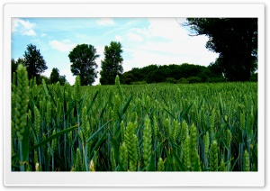 Green Wheat Field Landscape HD Wide Wallpaper for Widescreen