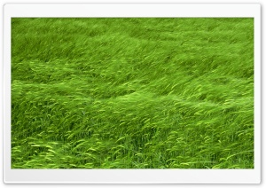 Green Wheat Field Spring HD Wide Wallpaper for Widescreen