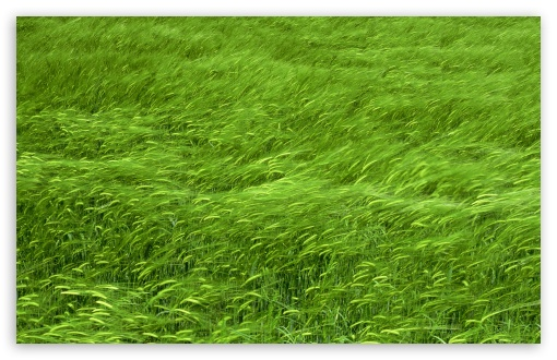 Green Wheat Field Spring HD wallpaper for Standard 4:3 5:4 Fullscreen UXGA XGA SVGA QSXGA SXGA ; Wide 16:10 5:3 Widescreen WHXGA WQXGA WUXGA WXGA WGA ; HD 16:9 High Definition WQHD QWXGA 1080p 900p 720p QHD nHD ; Other 3:2 DVGA HVGA HQVGA devices ( Apple PowerBook G4 iPhone 4 3G 3GS iPod Touch ) ; Mobile VGA WVGA iPhone iPad PSP Phone - VGA QVGA Smartphone ( PocketPC GPS iPod Zune BlackBerry HTC Samsung LG Nokia Eten Asus ) WVGA WQVGA Smartphone ( HTC Samsung Sony Ericsson LG Vertu MIO ) HVGA Smartphone ( Apple iPhone iPod BlackBerry HTC Samsung Nokia ) Sony PSP Zune HD Zen ; Tablet 2 ; Dual 4:3 5:4 16:10 5:3 16:9 UXGA XGA SVGA QSXGA SXGA WHXGA WQXGA WUXGA WXGA WGA WQHD QWXGA 1080p 900p 720p QHD nHD ;