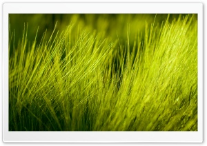 Green Wheat Plant HD Wide Wallpaper for Widescreen