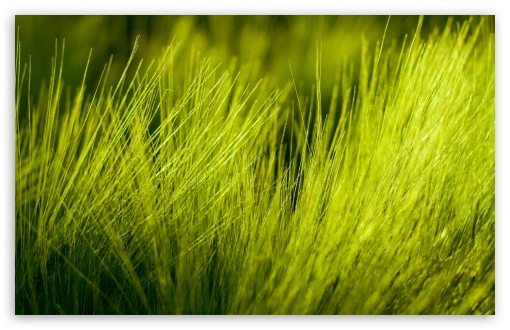 Green Wheat Plant HD wallpaper for Wide 16:10 5:3 Widescreen WHXGA WQXGA WUXGA WXGA WGA ; HD 16:9 High Definition WQHD QWXGA 1080p 900p 720p QHD nHD ; Standard 4:3 5:4 3:2 Fullscreen UXGA XGA SVGA QSXGA SXGA DVGA HVGA HQVGA devices ( Apple PowerBook G4 iPhone 4 3G 3GS iPod Touch ) ; Tablet 1:1 ; iPad 1/2/Mini ; Mobile 4:3 5:3 3:2 16:9 5:4 - UXGA XGA SVGA WGA DVGA HVGA HQVGA devices ( Apple PowerBook G4 iPhone 4 3G 3GS iPod Touch ) WQHD QWXGA 1080p 900p 720p QHD nHD QSXGA SXGA ;