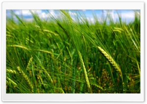 Green Wheat Spikes HD Wide Wallpaper for Widescreen