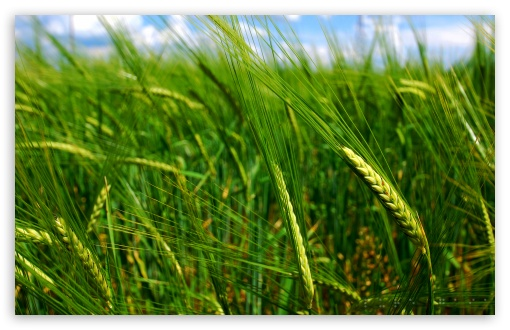 Green Wheat Spikes HD wallpaper for Wide 16:10 5:3 Widescreen WHXGA WQXGA WUXGA WXGA WGA ; HD 16:9 High Definition WQHD QWXGA 1080p 900p 720p QHD nHD ; Standard 4:3 5:4 3:2 Fullscreen UXGA XGA SVGA QSXGA SXGA DVGA HVGA HQVGA devices ( Apple PowerBook G4 iPhone 4 3G 3GS iPod Touch ) ; Tablet 1:1 ; iPad 1/2/Mini ; Mobile 4:3 5:3 3:2 16:9 5:4 - UXGA XGA SVGA WGA DVGA HVGA HQVGA devices ( Apple PowerBook G4 iPhone 4 3G 3GS iPod Touch ) WQHD QWXGA 1080p 900p 720p QHD nHD QSXGA SXGA ; Dual 5:4 QSXGA SXGA ;