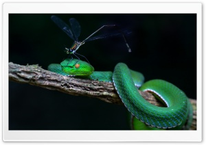 Green White-lipped Pit Viper Snake Tree HD Wide Wallpaper for 4K UHD Widescreen desktop & smartphone