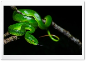 Green White Lipped Pit Viper Venomous Snake Female HD Wide Wallpaper for 4K UHD Widescreen desktop & smartphone