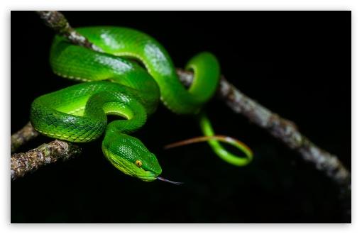 Green White Lipped Pit Viper Venomous Snake Female Ultra Hd