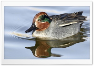 Green Winged Teal Anas Crecca HD Wide Wallpaper for 4K UHD Widescreen desktop & smartphone