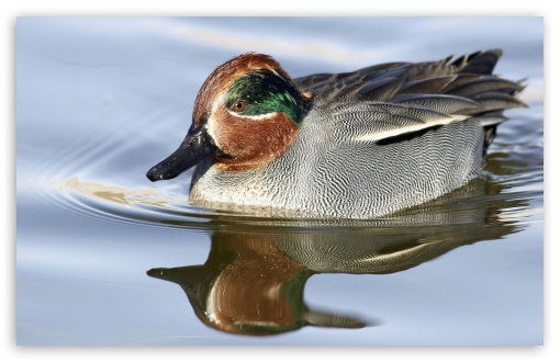 Green Winged Teal Anas Crecca HD wallpaper for Wide 16:10 5:3 Widescreen WHXGA WQXGA WUXGA WXGA WGA ; HD 16:9 High Definition WQHD QWXGA 1080p 900p 720p QHD nHD ; Standard 4:3 5:4 3:2 Fullscreen UXGA XGA SVGA QSXGA SXGA DVGA HVGA HQVGA devices ( Apple PowerBook G4 iPhone 4 3G 3GS iPod Touch ) ; iPad 1/2/Mini ; Mobile 4:3 5:3 3:2 16:9 5:4 - UXGA XGA SVGA WGA DVGA HVGA HQVGA devices ( Apple PowerBook G4 iPhone 4 3G 3GS iPod Touch ) WQHD QWXGA 1080p 900p 720p QHD nHD QSXGA SXGA ;