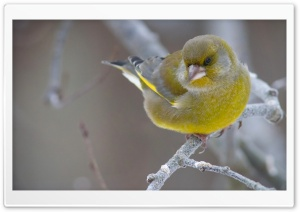 Greenfinch HD Wide Wallpaper for Widescreen