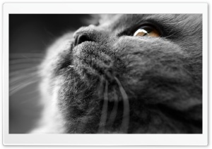 Grey Cat Face HD Wide Wallpaper for 4K UHD Widescreen desktop & smartphone