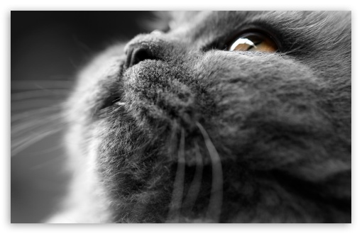 Grey Cat Face ❤ 4K UHD Wallpaper for Wide 16:10 5:3 Widescreen WHXGA WQXGA WUXGA WXGA WGA ; 4K UHD 16:9 Ultra High Definition 2160p 1440p 1080p 900p 720p ; UHD 16:9 2160p 1440p 1080p 900p 720p ; Standard 4:3 5:4 3:2 Fullscreen UXGA XGA SVGA QSXGA SXGA DVGA HVGA HQVGA ( Apple PowerBook G4 iPhone 4 3G 3GS iPod Touch ) ; Tablet 1:1 ; iPad 1/2/Mini ; Mobile 4:3 5:3 3:2 16:9 5:4 - UXGA XGA SVGA WGA DVGA HVGA HQVGA ( Apple PowerBook G4 iPhone 4 3G 3GS iPod Touch ) 2160p 1440p 1080p 900p 720p QSXGA SXGA ; Dual 4:3 5:4 UXGA XGA SVGA QSXGA SXGA ;