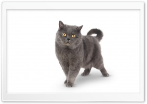 Grey Shorthair Cat HD Wide Wallpaper for 4K UHD Widescreen desktop & smartphone