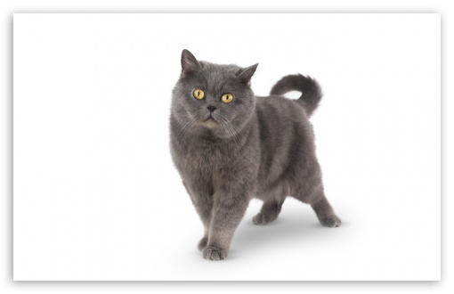 Grey Shorthair Cat UltraHD Wallpaper for Wide 16:10 5:3 Widescreen WHXGA WQXGA WUXGA WXGA WGA ; 8K UHD TV 16:9 Ultra High Definition 2160p 1440p 1080p 900p 720p ; Standard 4:3 5:4 3:2 Fullscreen UXGA XGA SVGA QSXGA SXGA DVGA HVGA HQVGA ( Apple PowerBook G4 iPhone 4 3G 3GS iPod Touch ) ; Smartphone 16:9 3:2 5:3 2160p 1440p 1080p 900p 720p DVGA HVGA HQVGA ( Apple PowerBook G4 iPhone 4 3G 3GS iPod Touch ) WGA ; Tablet 1:1 ; iPad 1/2/Mini ; Mobile 4:3 5:3 3:2 16:9 5:4 - UXGA XGA SVGA WGA DVGA HVGA HQVGA ( Apple PowerBook G4 iPhone 4 3G 3GS iPod Touch ) 2160p 1440p 1080p 900p 720p QSXGA SXGA ;