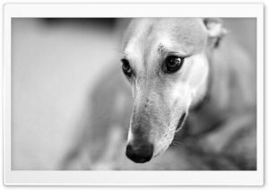 Greyhound HD Wide Wallpaper for Widescreen