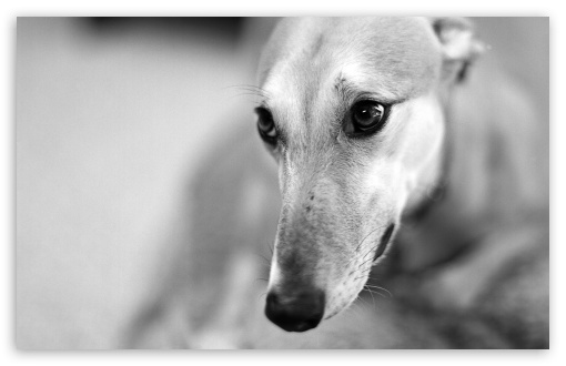 Greyhound ❤ 4K UHD Wallpaper for Wide 16:10 5:3 Widescreen WHXGA WQXGA WUXGA WXGA WGA ; 4K UHD 16:9 Ultra High Definition 2160p 1440p 1080p 900p 720p ; Standard 4:3 5:4 3:2 Fullscreen UXGA XGA SVGA QSXGA SXGA DVGA HVGA HQVGA ( Apple PowerBook G4 iPhone 4 3G 3GS iPod Touch ) ; Tablet 1:1 ; iPad 1/2/Mini ; Mobile 4:3 5:3 3:2 16:9 5:4 - UXGA XGA SVGA WGA DVGA HVGA HQVGA ( Apple PowerBook G4 iPhone 4 3G 3GS iPod Touch ) 2160p 1440p 1080p 900p 720p QSXGA SXGA ;