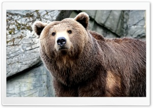 Grizzly Bear 1 HD Wide Wallpaper for Widescreen