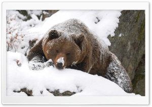Grizzly Bear In The Snow HD Wide Wallpaper for 4K UHD Widescreen desktop & smartphone