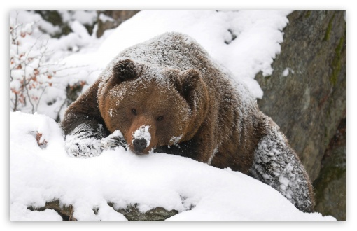 Grizzly Bear In The Snow ❤ 4K UHD Wallpaper for Wide 16:10 5:3 Widescreen WHXGA WQXGA WUXGA WXGA WGA ; 4K UHD 16:9 Ultra High Definition 2160p 1440p 1080p 900p 720p ; Standard 4:3 5:4 3:2 Fullscreen UXGA XGA SVGA QSXGA SXGA DVGA HVGA HQVGA ( Apple PowerBook G4 iPhone 4 3G 3GS iPod Touch ) ; iPad 1/2/Mini ; Mobile 4:3 5:3 3:2 16:9 5:4 - UXGA XGA SVGA WGA DVGA HVGA HQVGA ( Apple PowerBook G4 iPhone 4 3G 3GS iPod Touch ) 2160p 1440p 1080p 900p 720p QSXGA SXGA ;